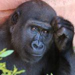 training geven als een charismatische gorilla